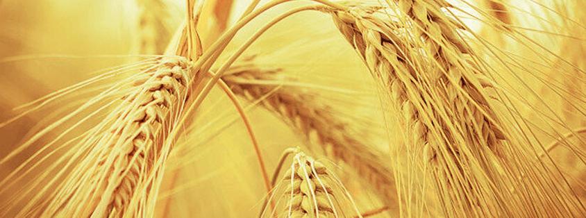 Buğday Alerjisinde Moleküler Alerji Testi